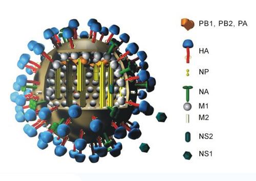вирус гриппа. cвиной грипп H1N1